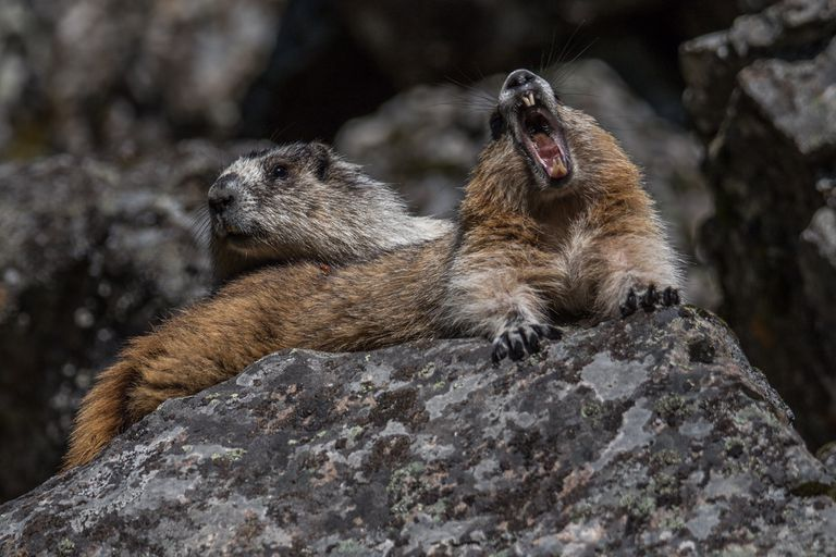 A yawning marmot laying on a rock