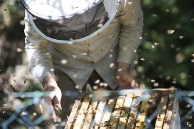 Beekeeper checking honeycomb with honeybees