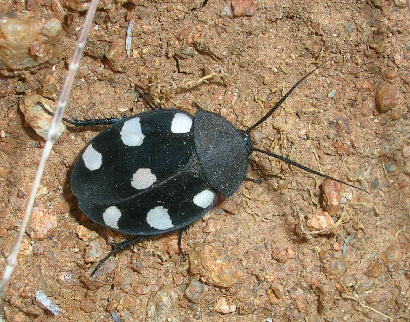 Seven spotted Roach Therea petiveriana
