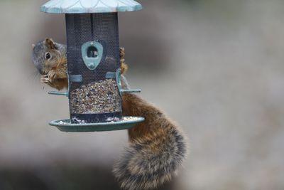 Squirrel raiding wild bird seed feeder