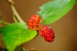 Bright red mulberries among healthy green leaves