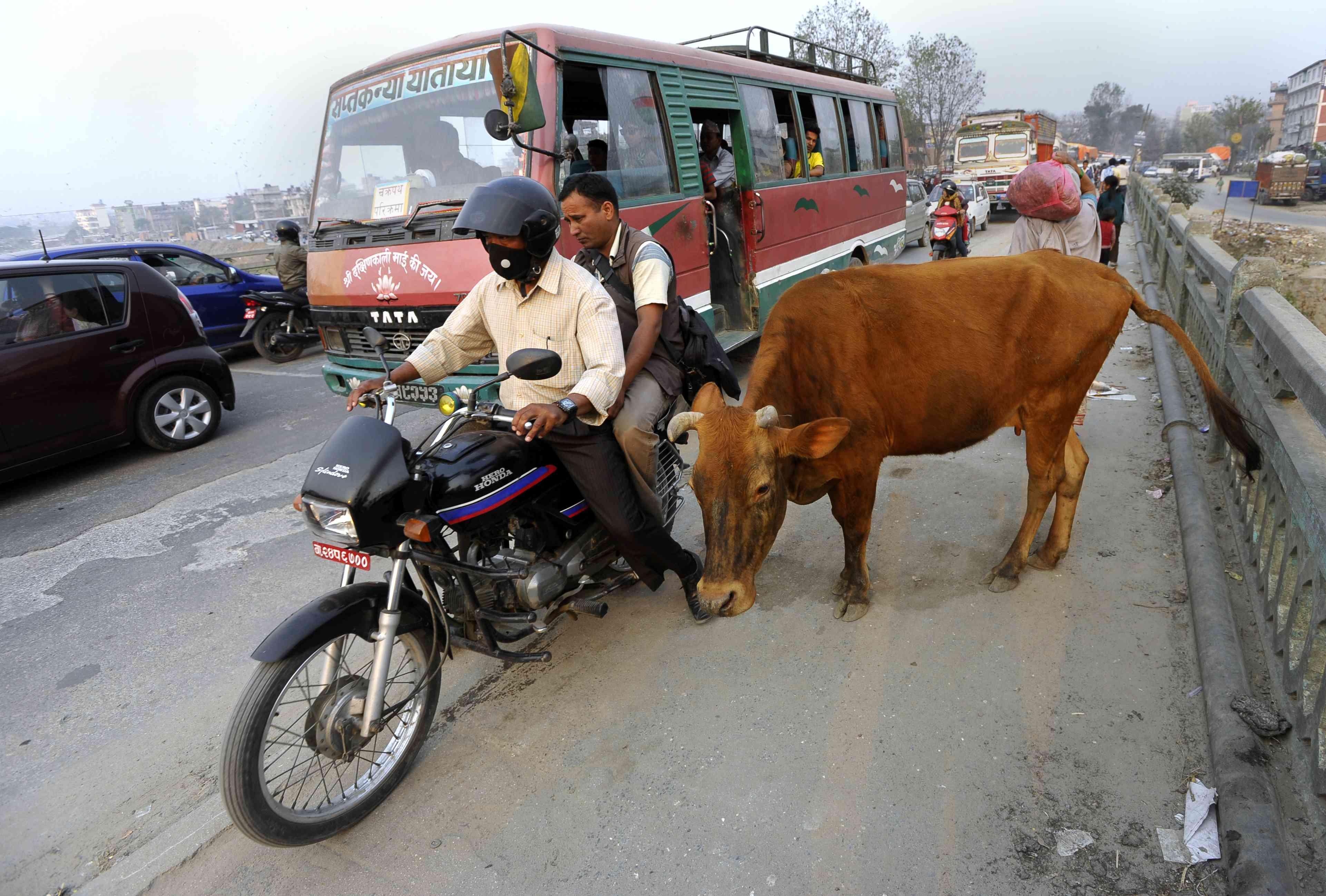 A cow joins traffic in Kathmandu, Nepal