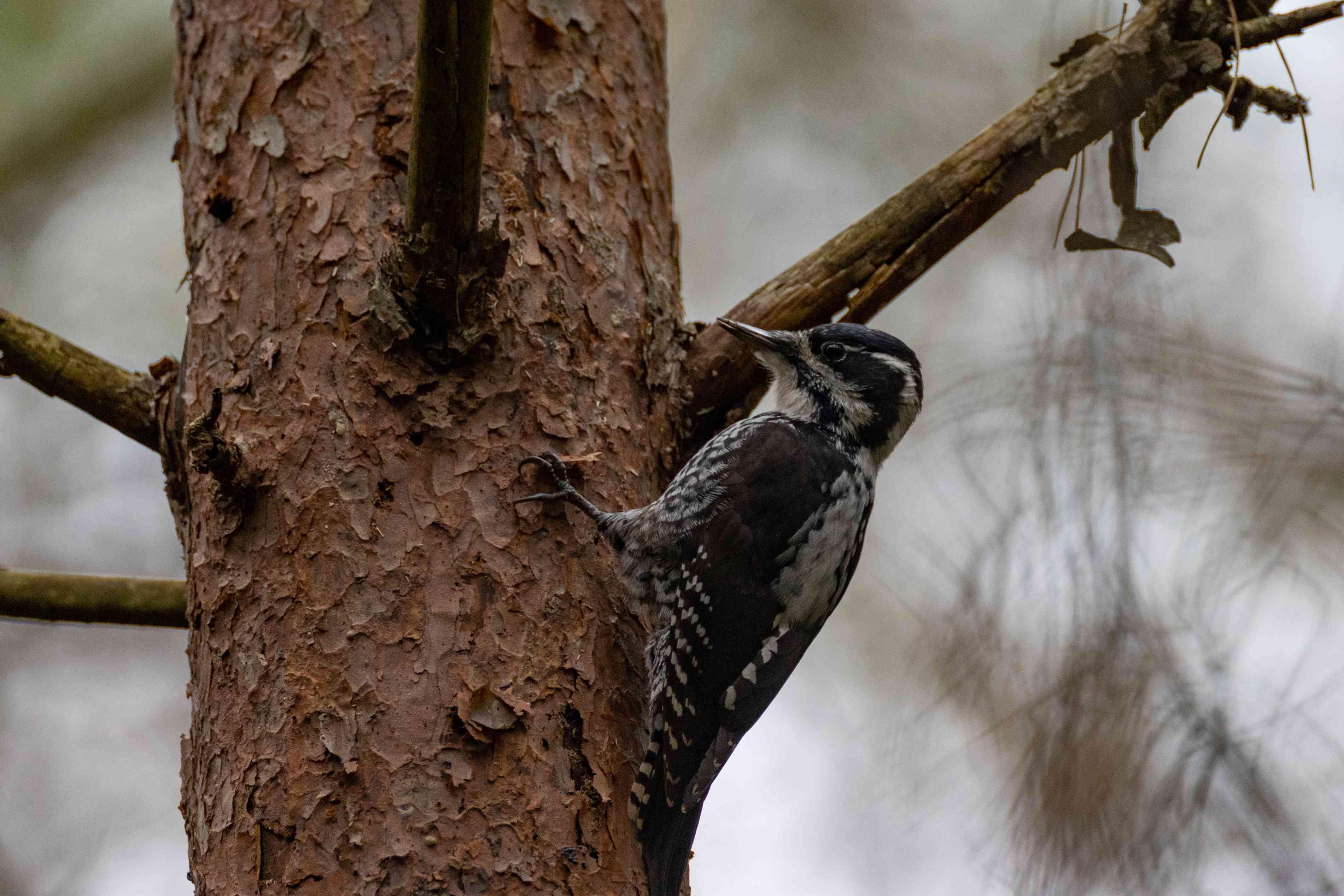 Eurasian three-toed woodpecker in a tree.