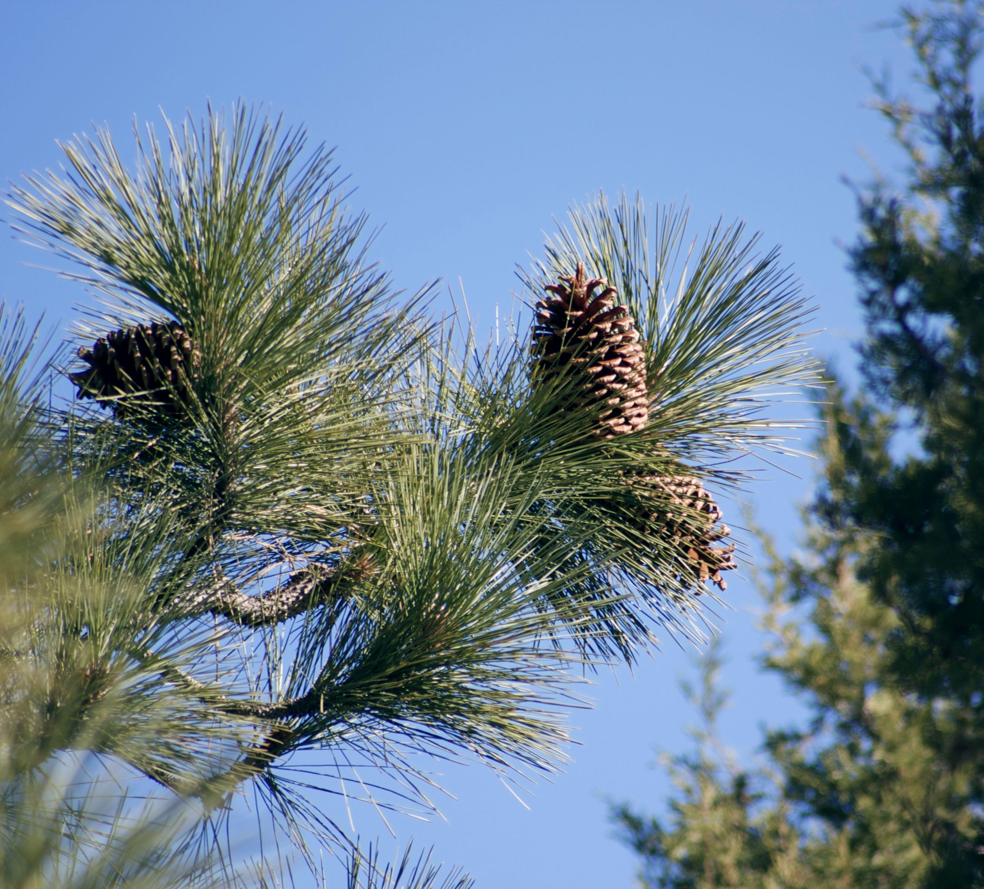 Jeffrey pine tree branch.
