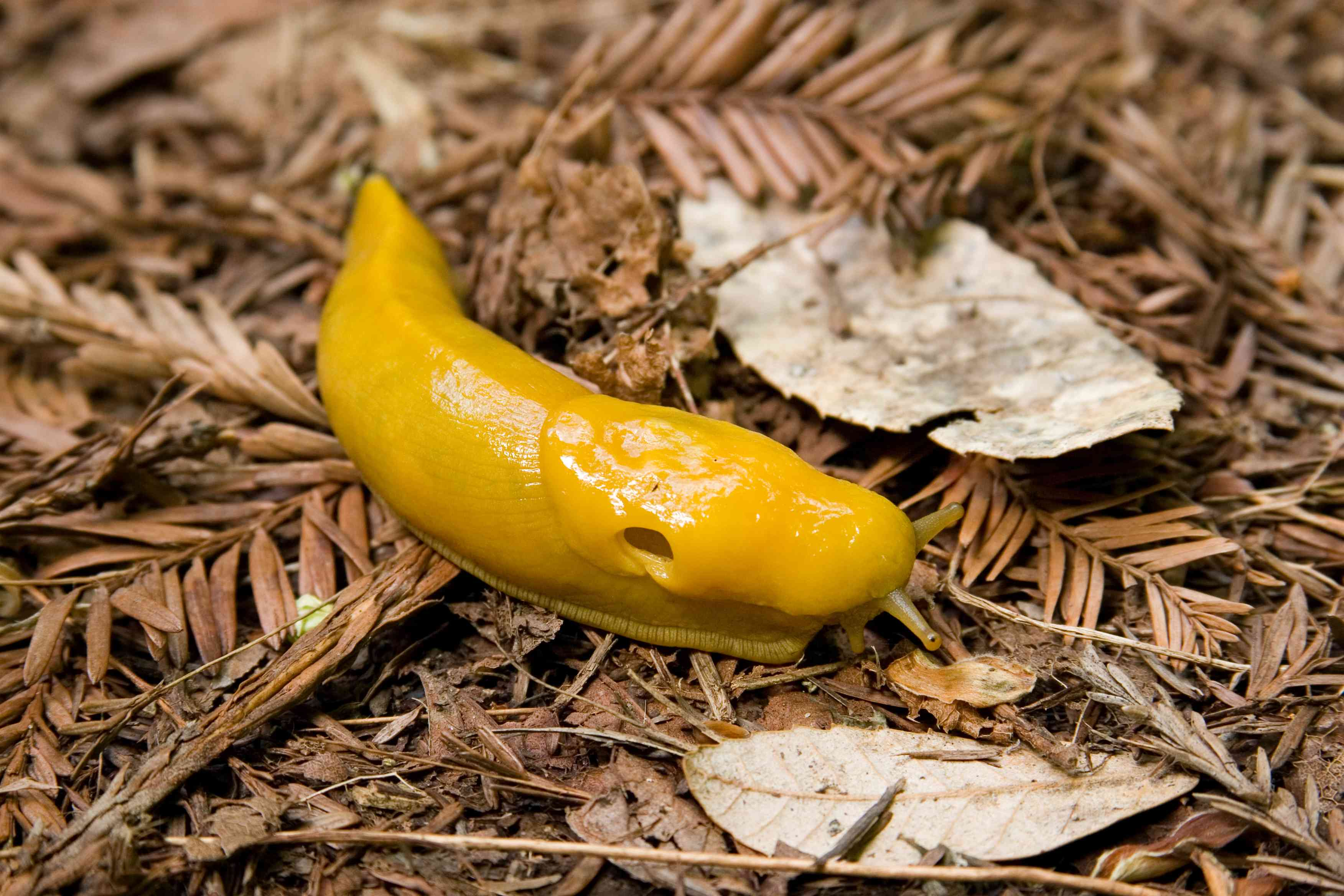 Santa Cruz Mountains Banana Slug with large visible hole on the side of head