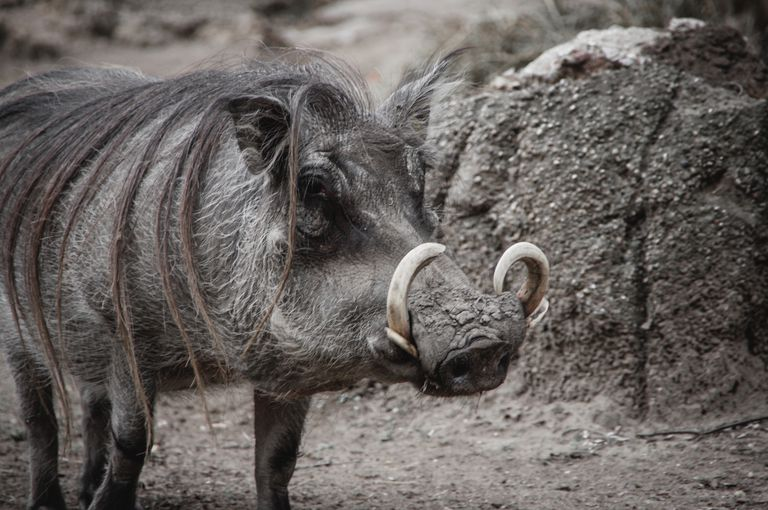A wild boar with dark gray fur and curved tusks