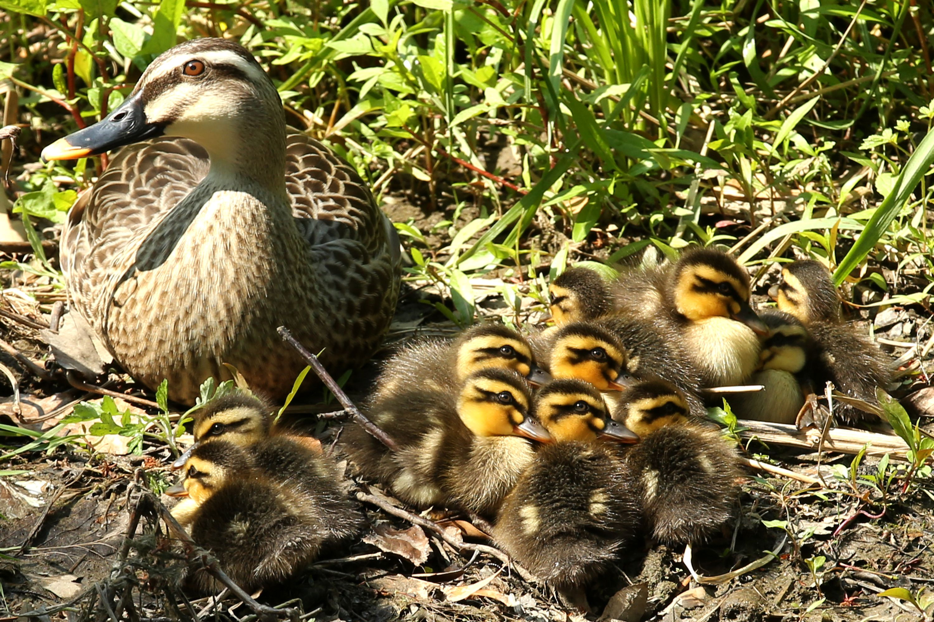 A mother duck and her 11 ducklings