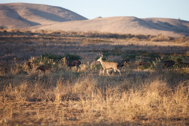 Wild deer run through the lands of The Jack and Laura Dangermond Conservancy