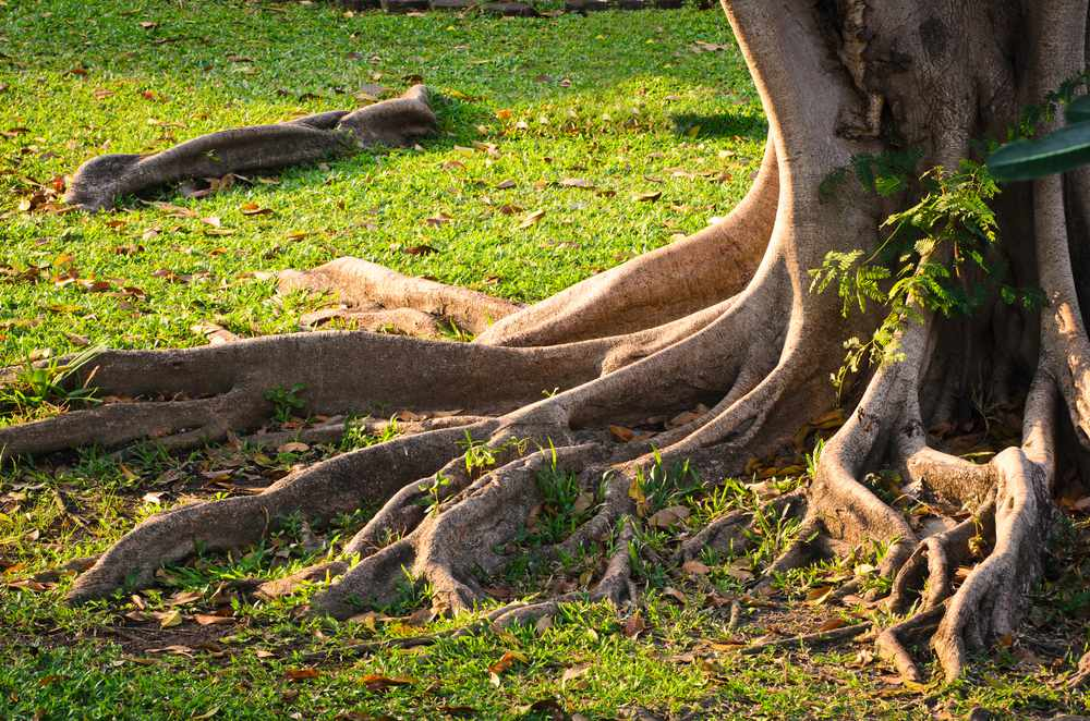 Exposed roots at the base of a tree