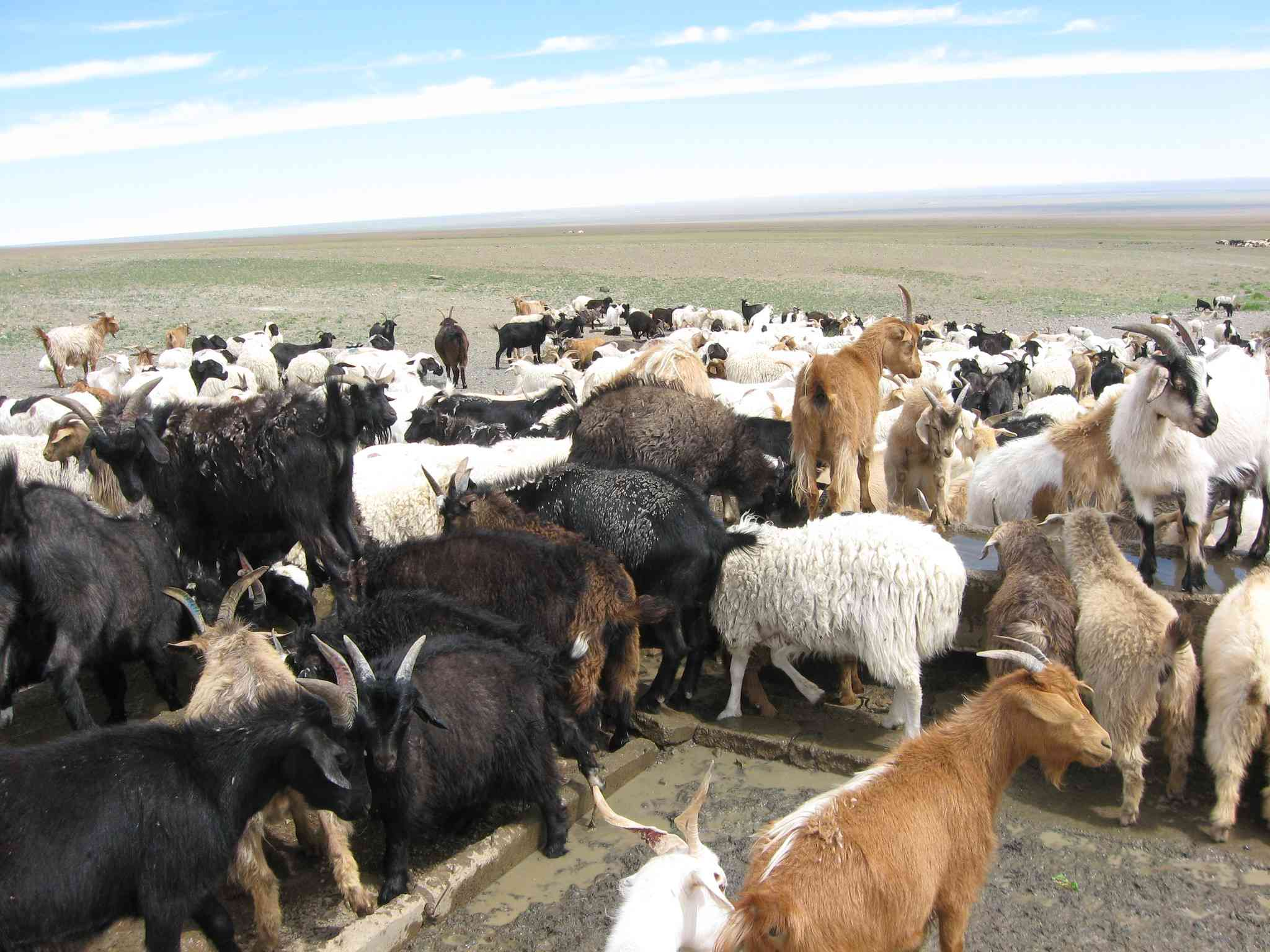 herd of goats of all colors on overgrazed pasture