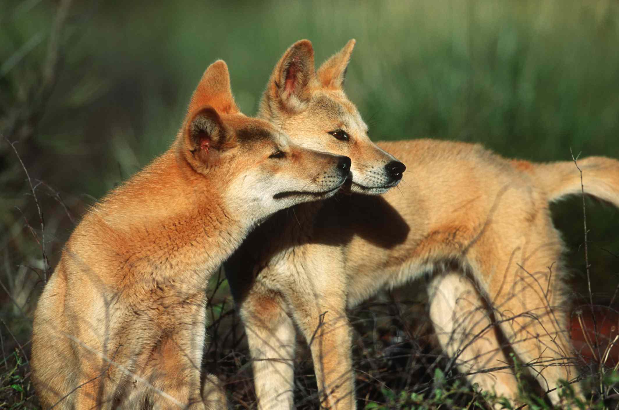 Dingoes in Australian Outback