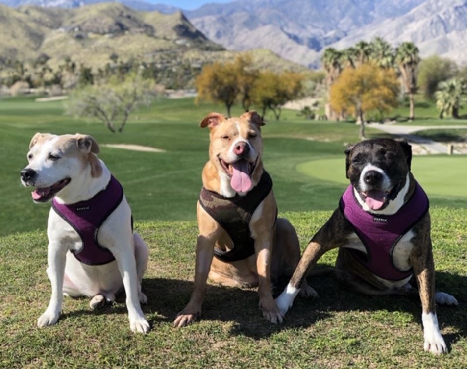 Three pit bull type dogs posing in the sun.