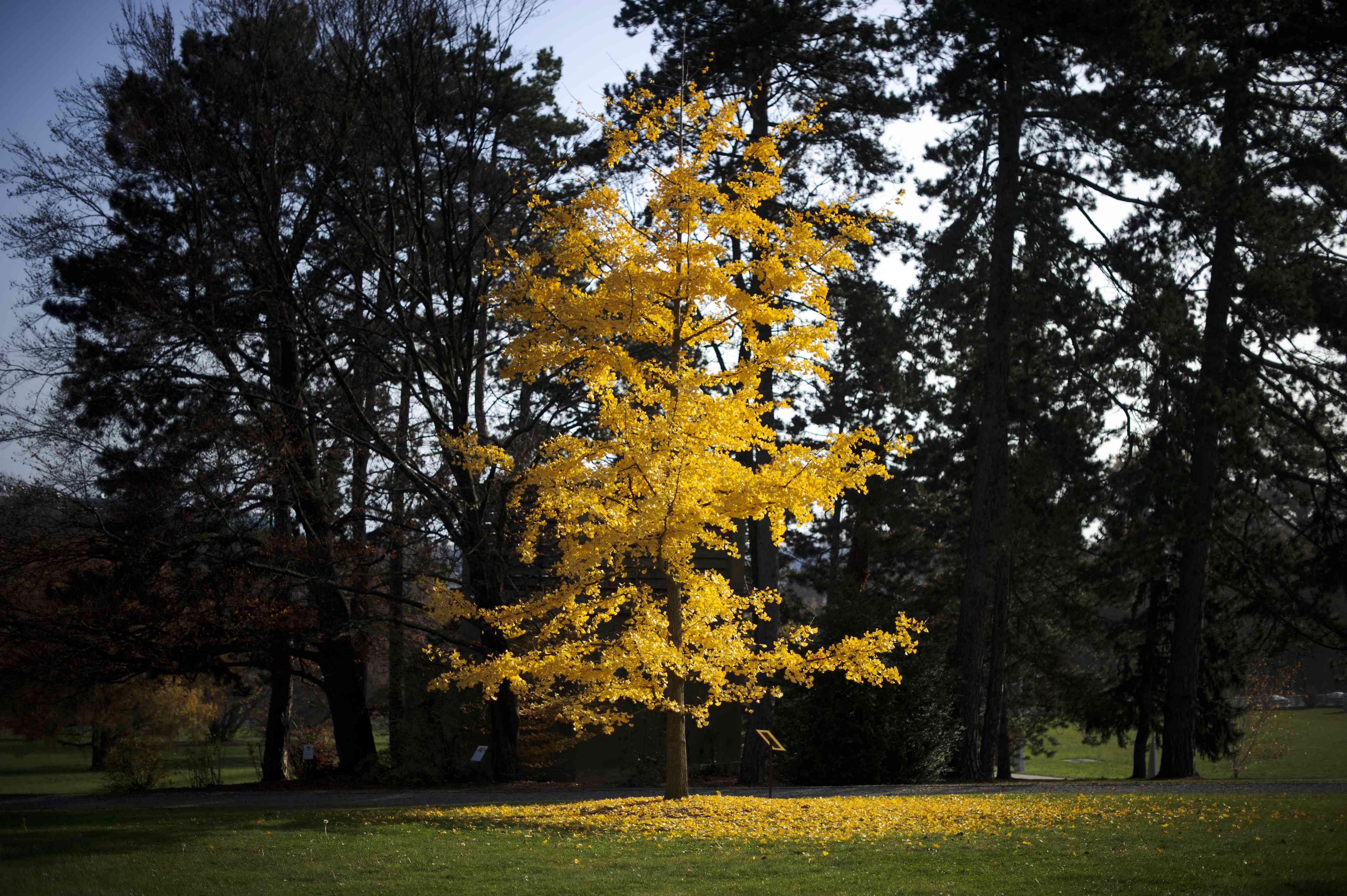 yellow ginkgo tree in Geneva