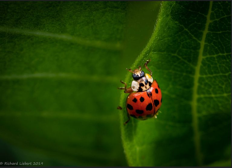Close up of ladybug hanging onto a lef