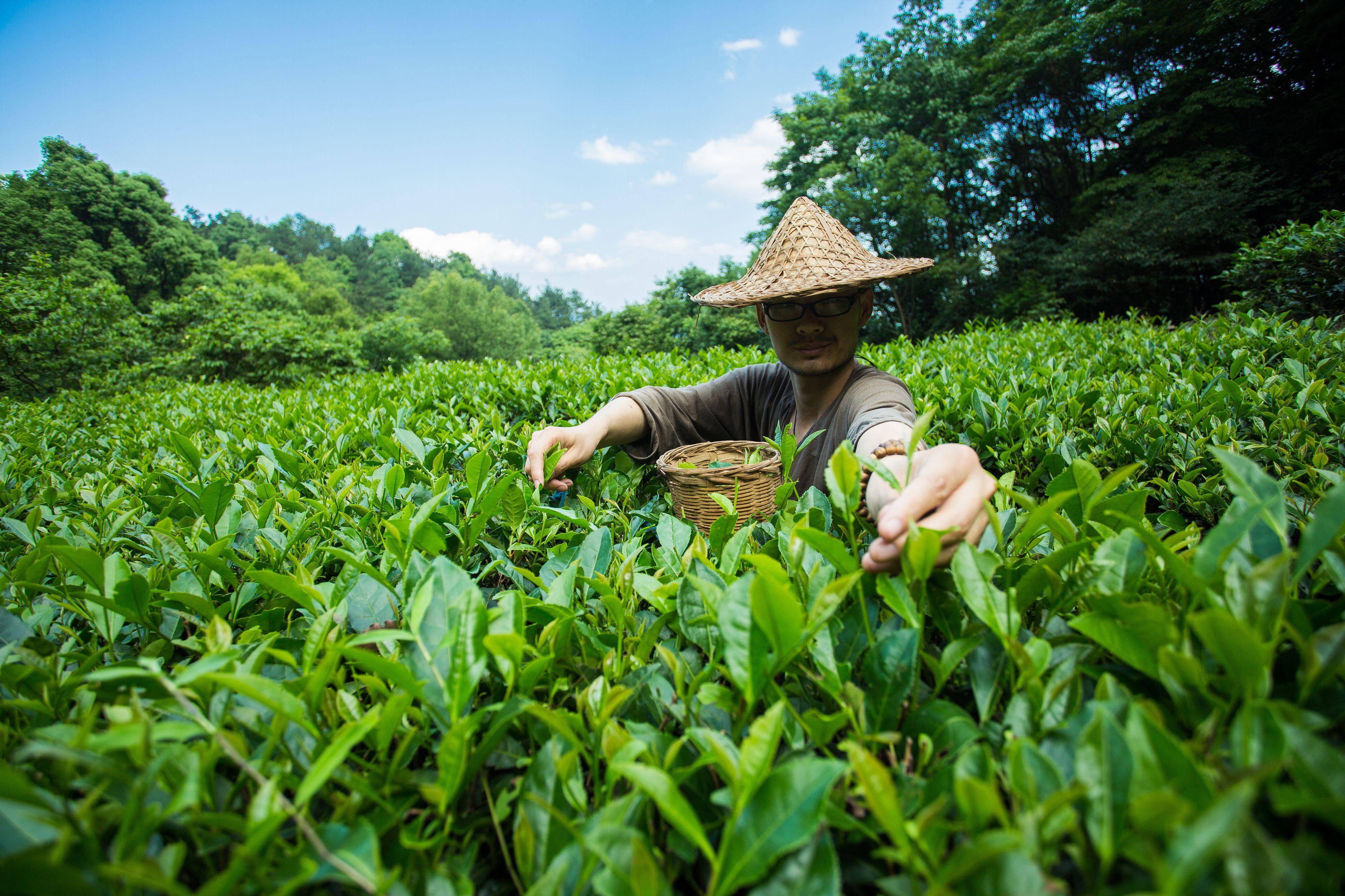 Young man picking tea