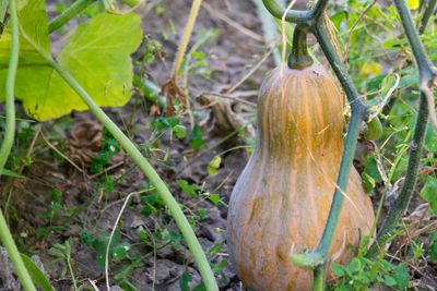 fully grown butternut squash attached to stem in outdoor garden