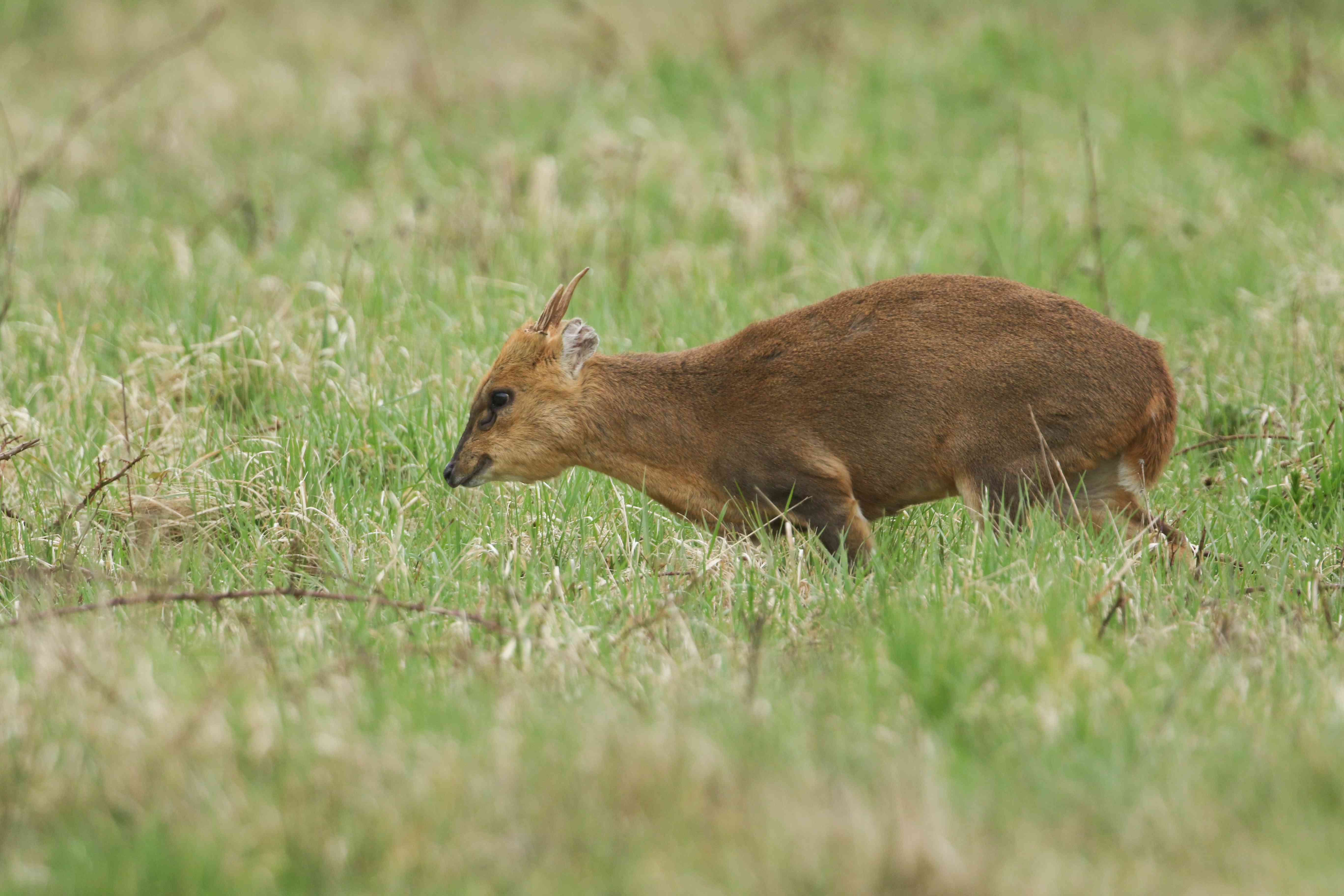A magnificent buck Muntjac Deer, Muntiacus reevesi, feeding in a field at the edge of woodland in the UK.