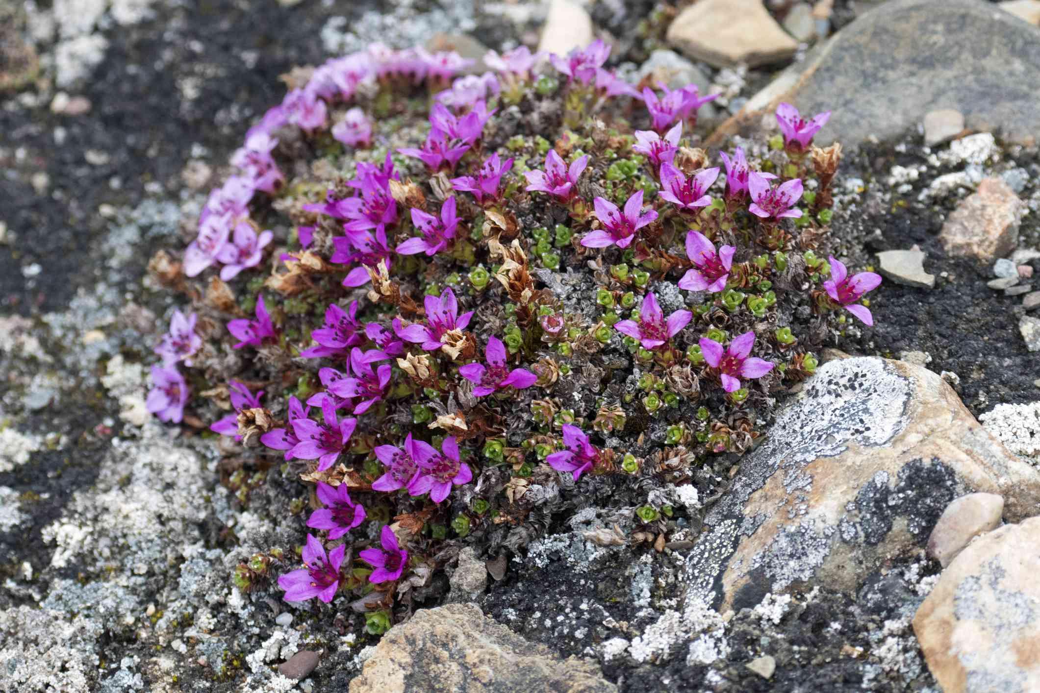 Purple Mountain Saxifrage in Norway