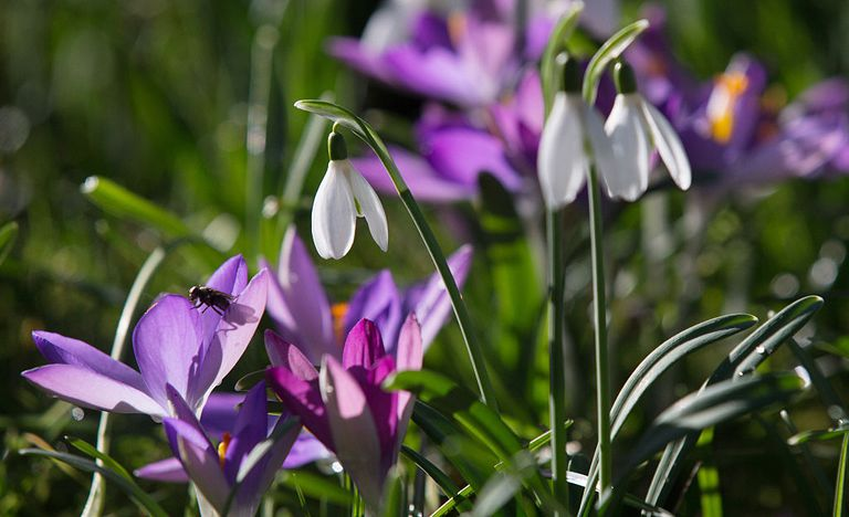 Crocuses and snowdrops in springtime.