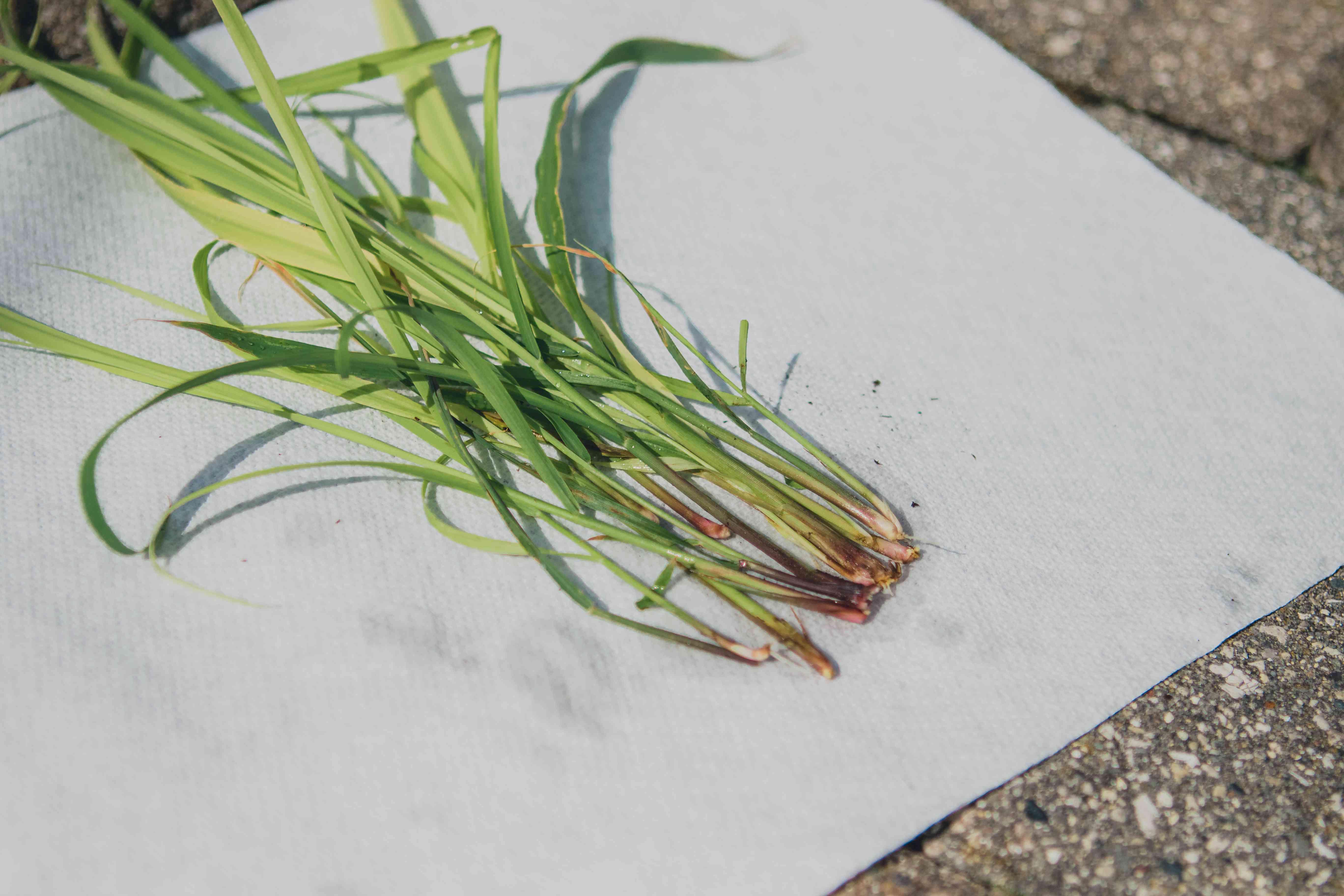 several lemongrass stalks dry outside on white fabric in sun