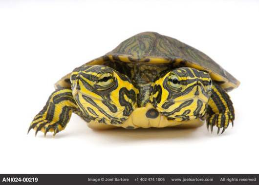 two-headed yellow-bellied slider