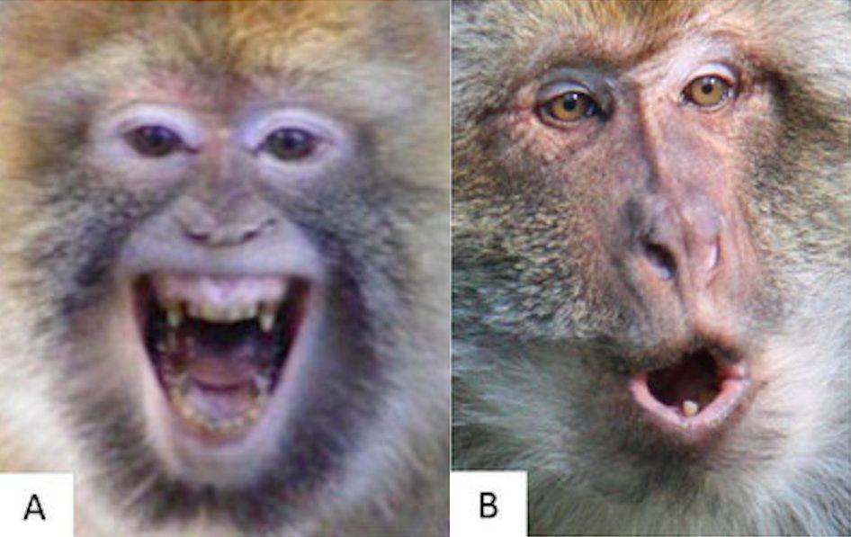 Monkeys making faces