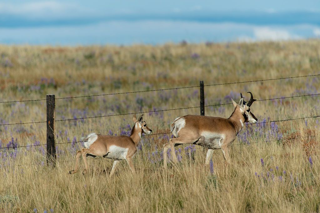 Prongorn antelope running next to a wire fence