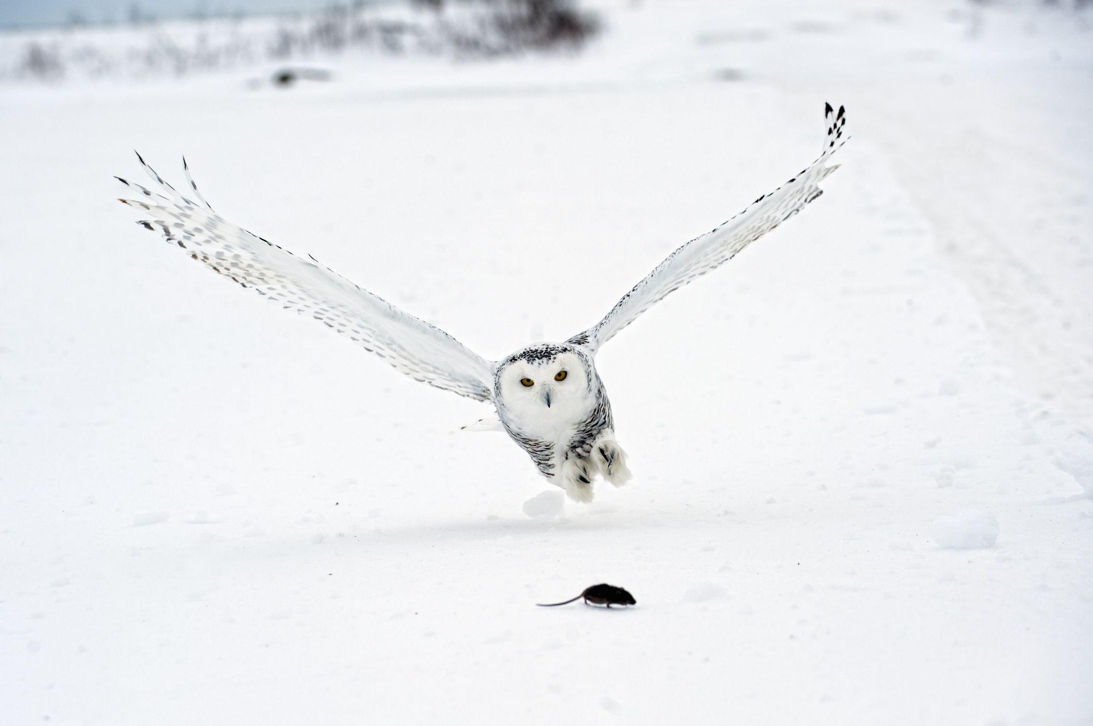 Snowy Owl (Nyctea scandiaca) swooping in on lemming prey