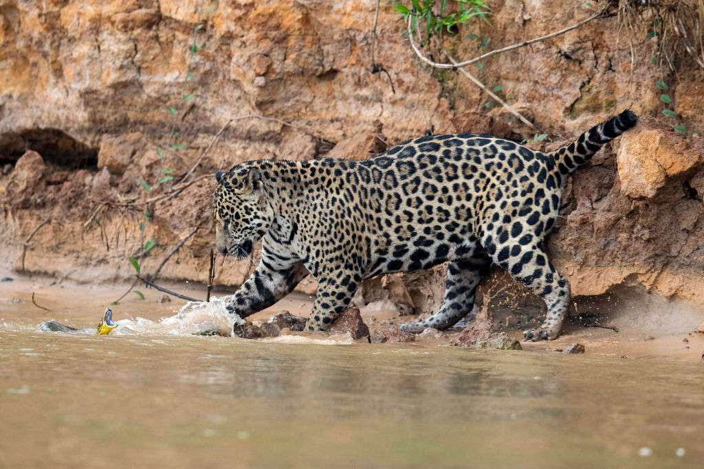 A jaguar bats a paw at a snake in the water.