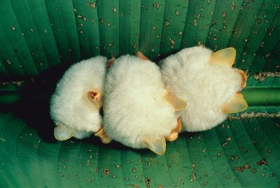 Three small white bats with yellow ears huddle in the center of a large green leaf