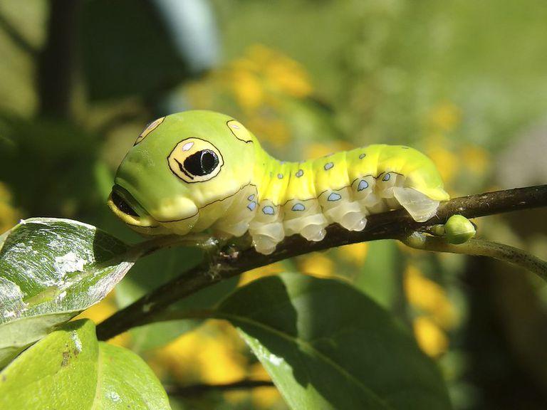 A spicebush swallowtail caterpillar sits on a leafy twig.