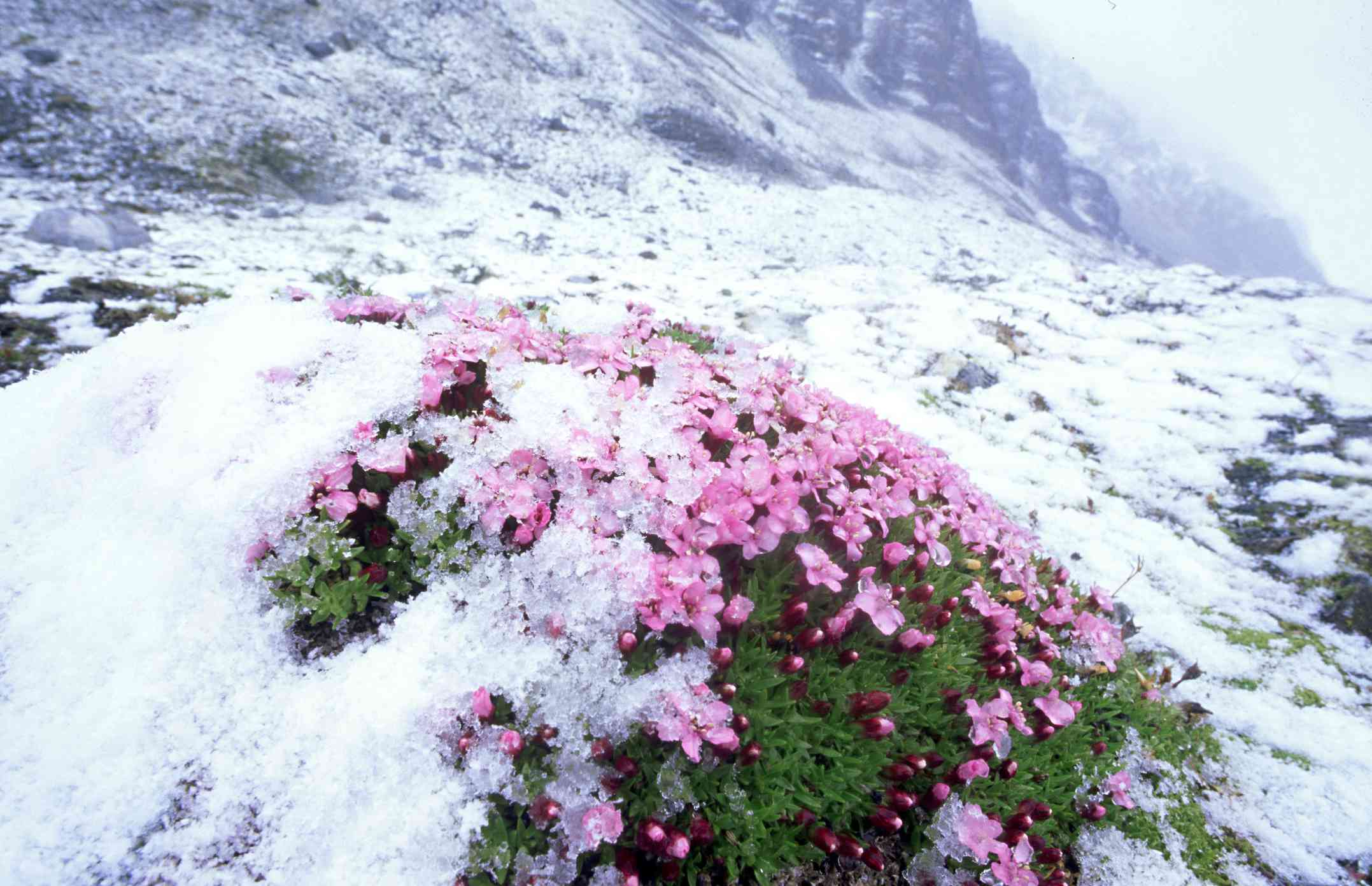 Moss Campion under a layer of snow