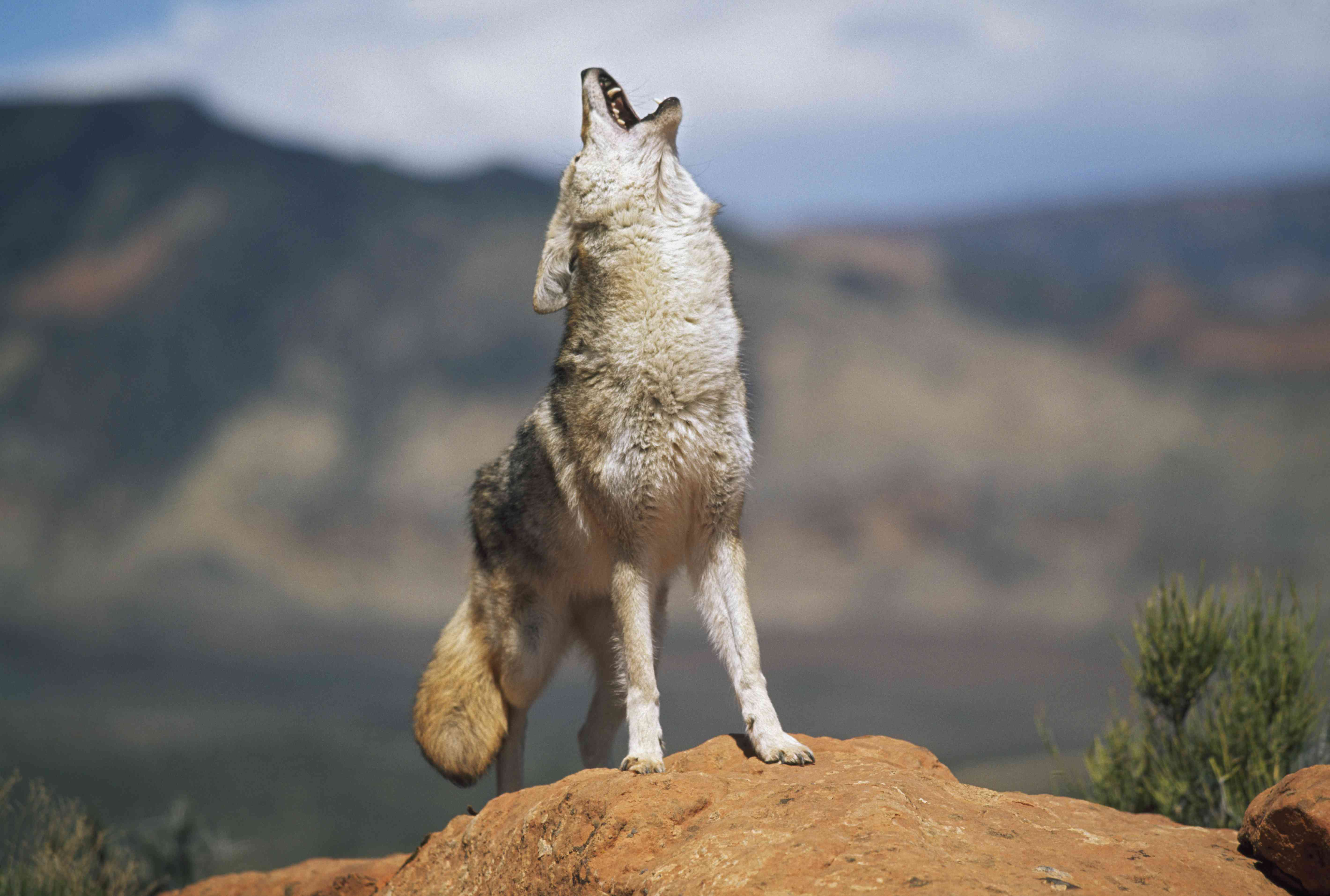 Coyote (Canis Latrans) Howling From High Point On Red Sandstone
