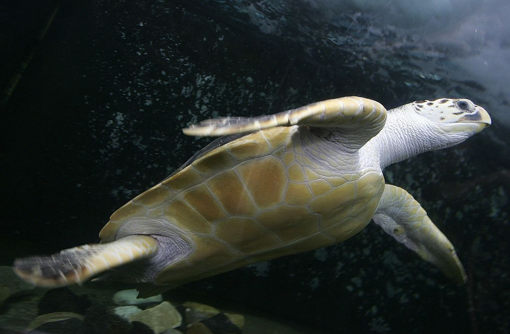 A leatherback sea turtle glides through water above the camera.