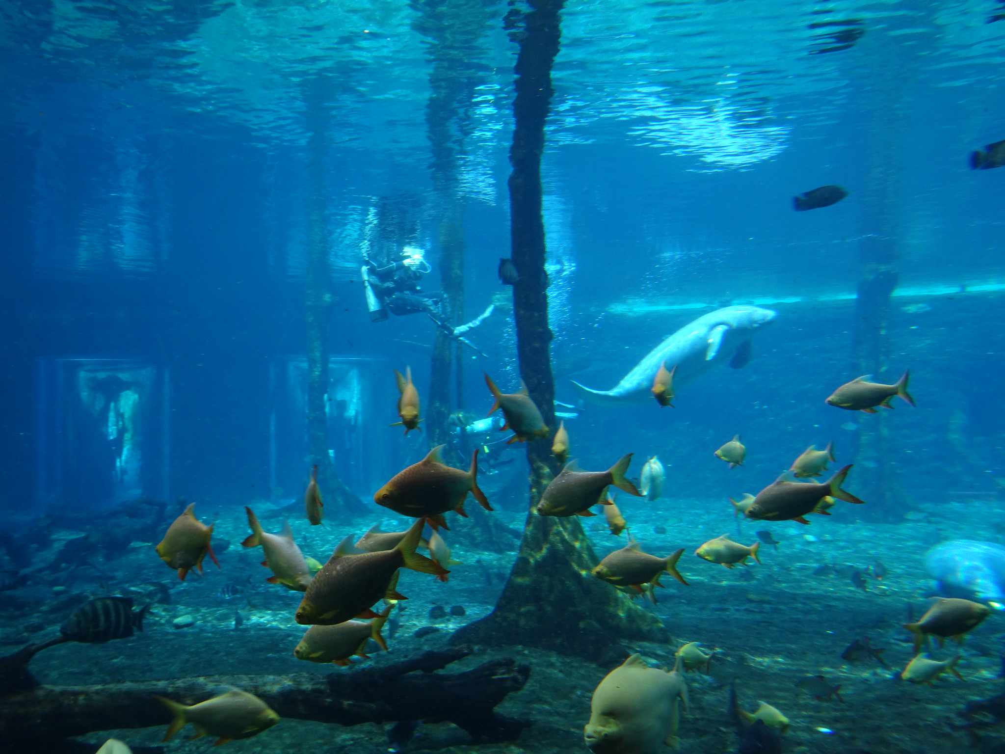 View of aquarium tank at Chimelong Ocean Kingdom with tropical fish and a beluga whale