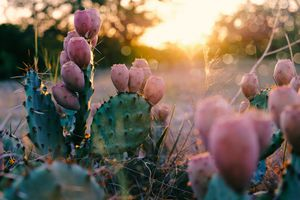 Prickly Pear Cactus Plant in Texas