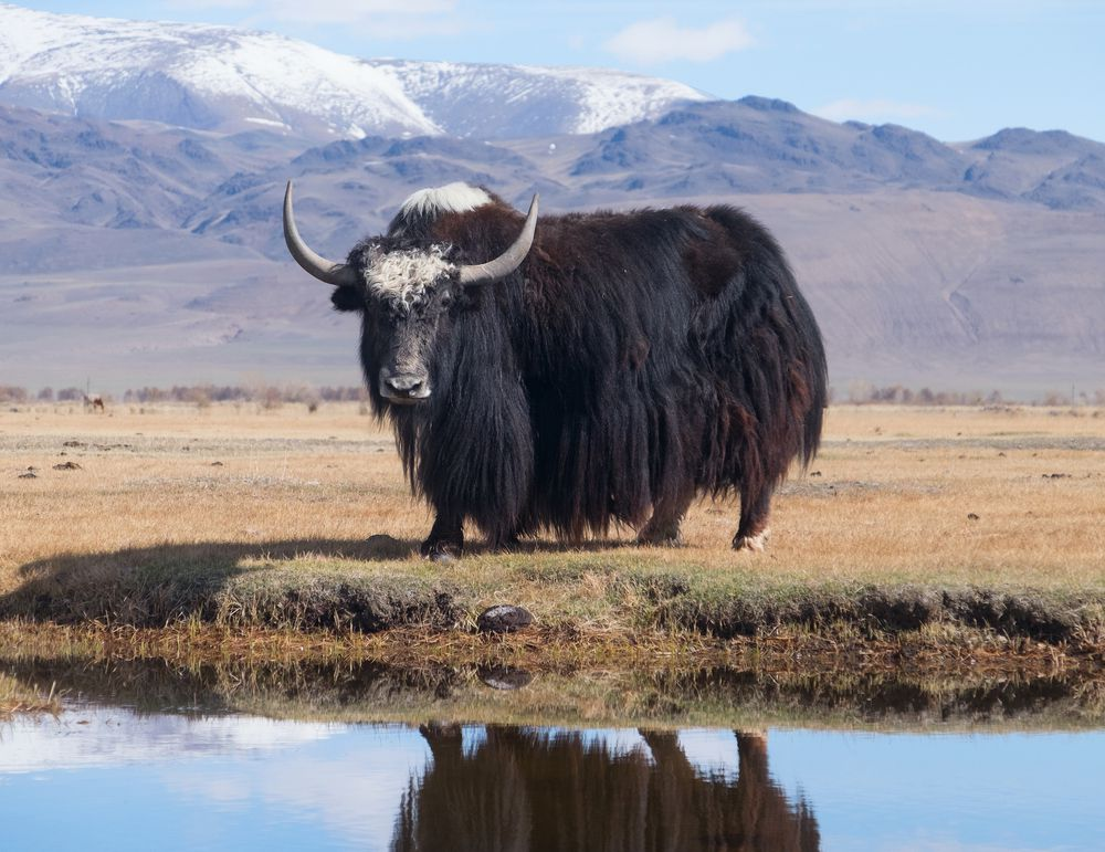 wild yak in the Himalayas