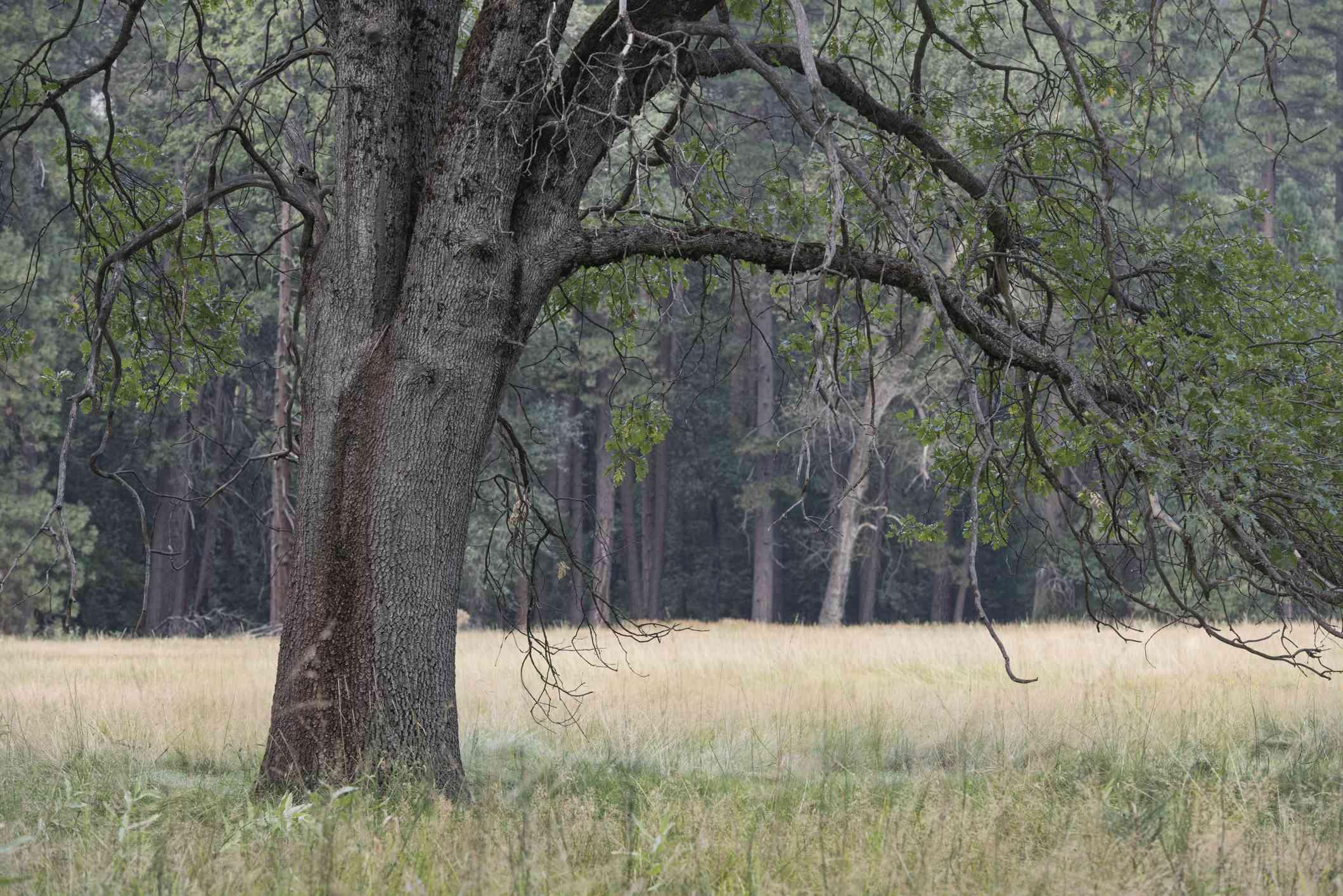 A Black Oak tree in a meadow.