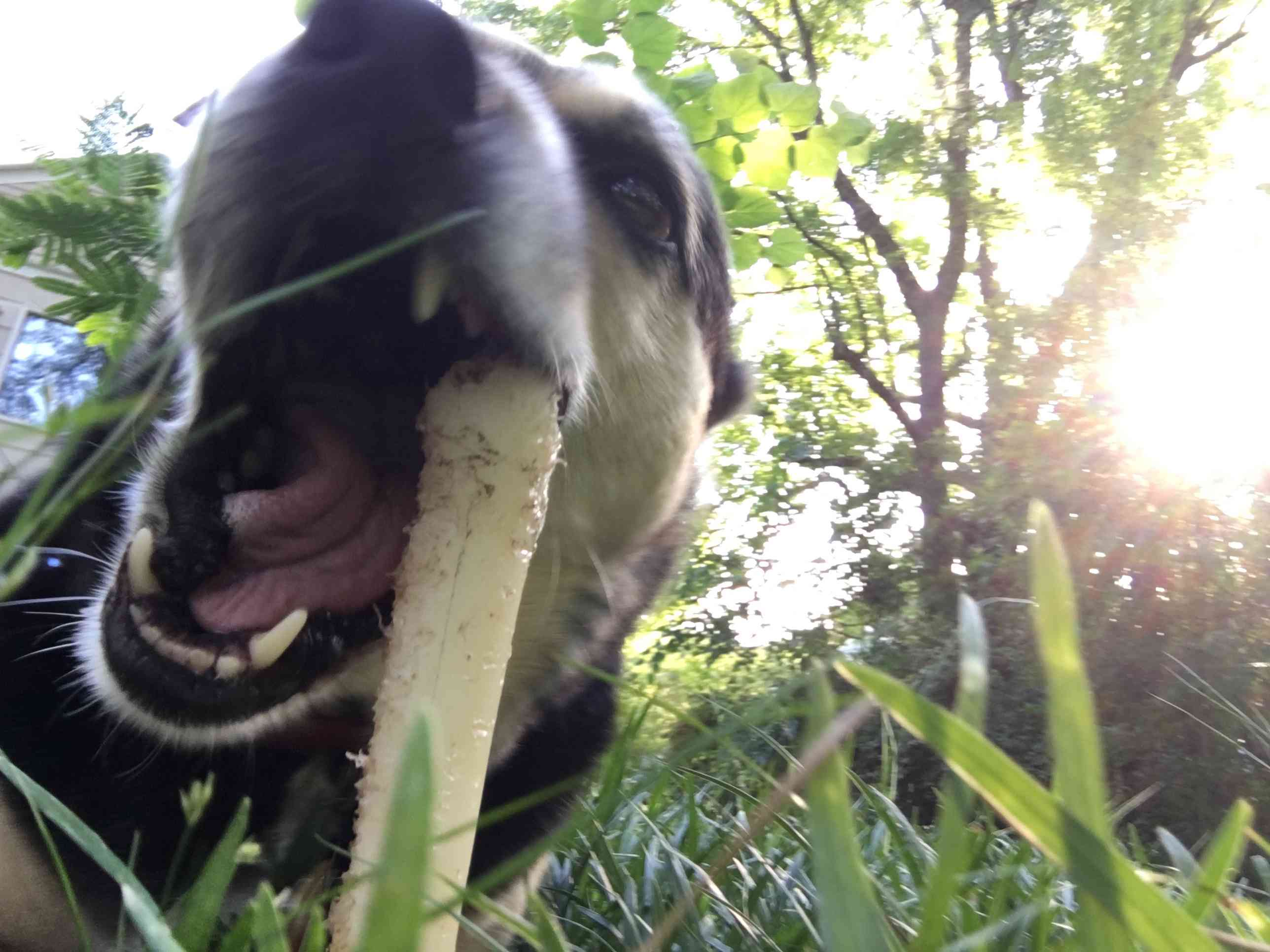 Otis, a mixed-breed rescue dog, chewing on a bone