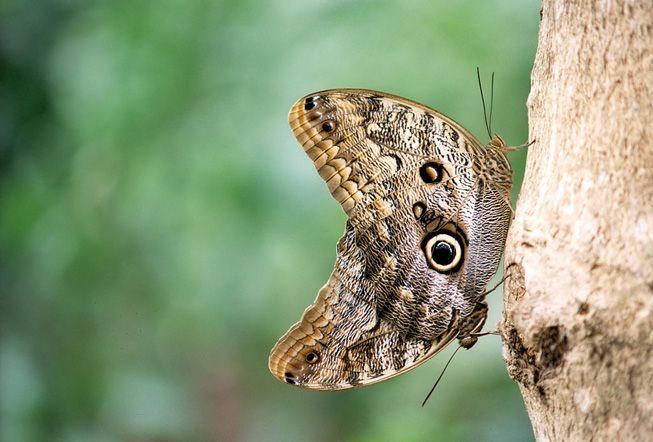 Two common buckeye butterflies