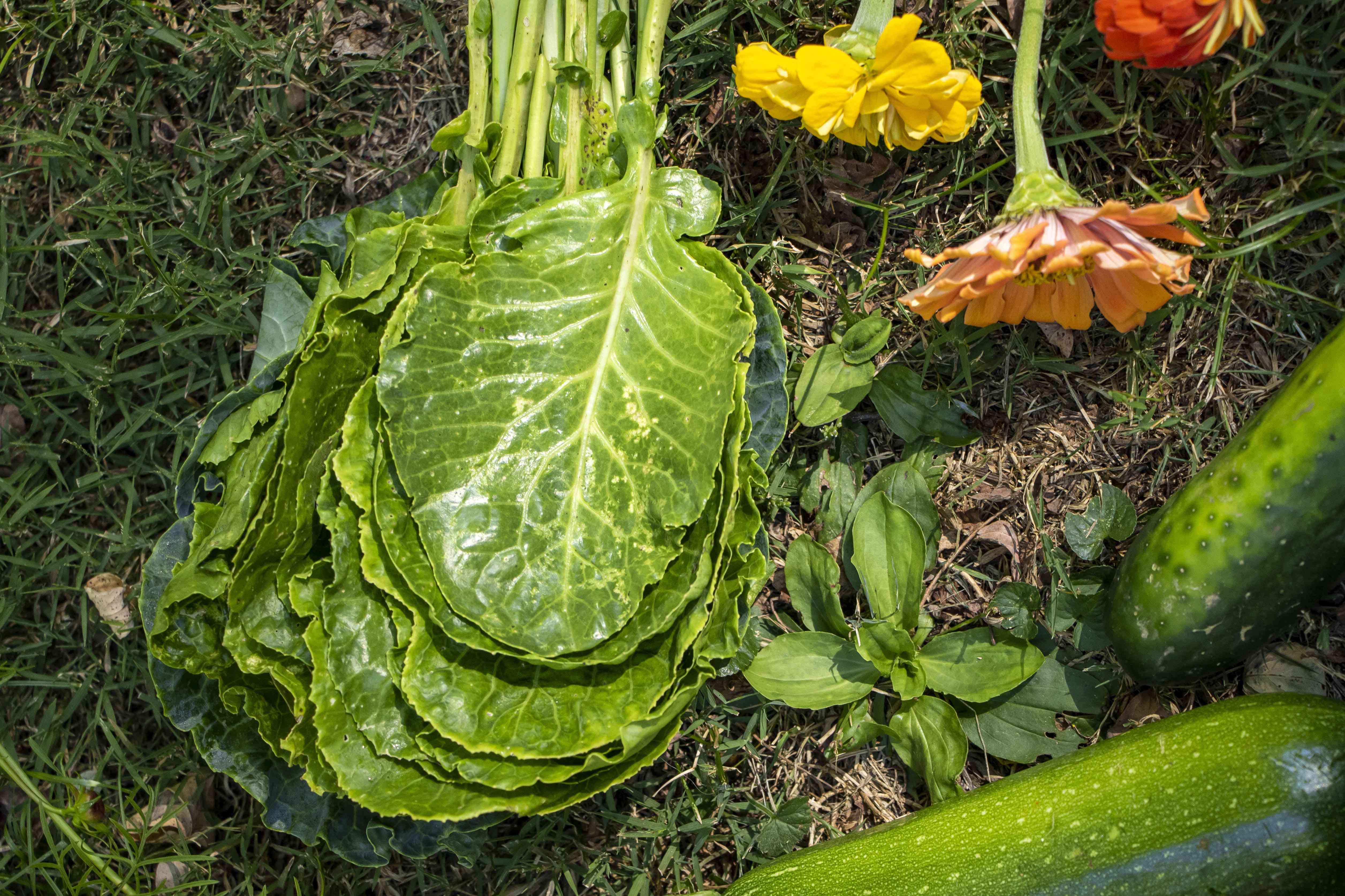 lettuce and zinnias