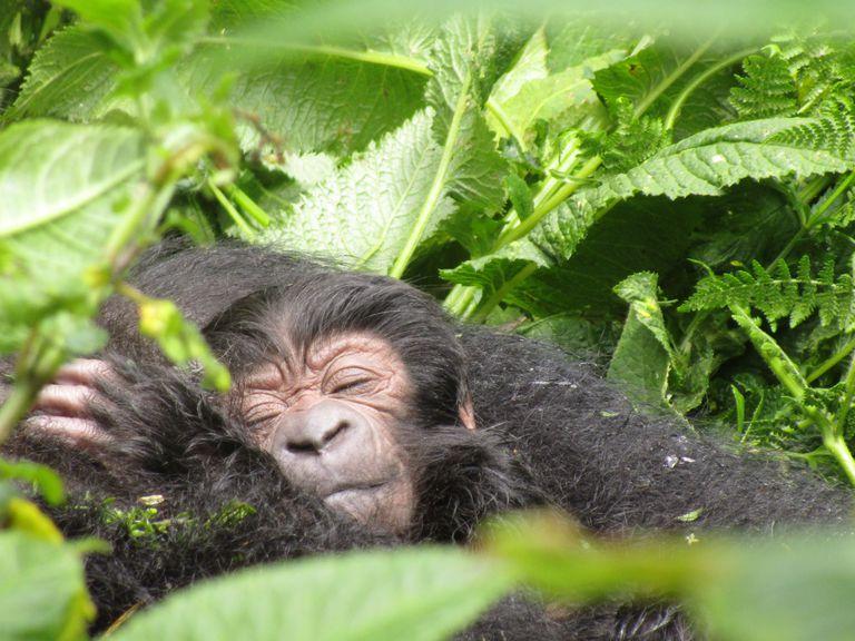 Rebotes de la población de gorilas de montaña