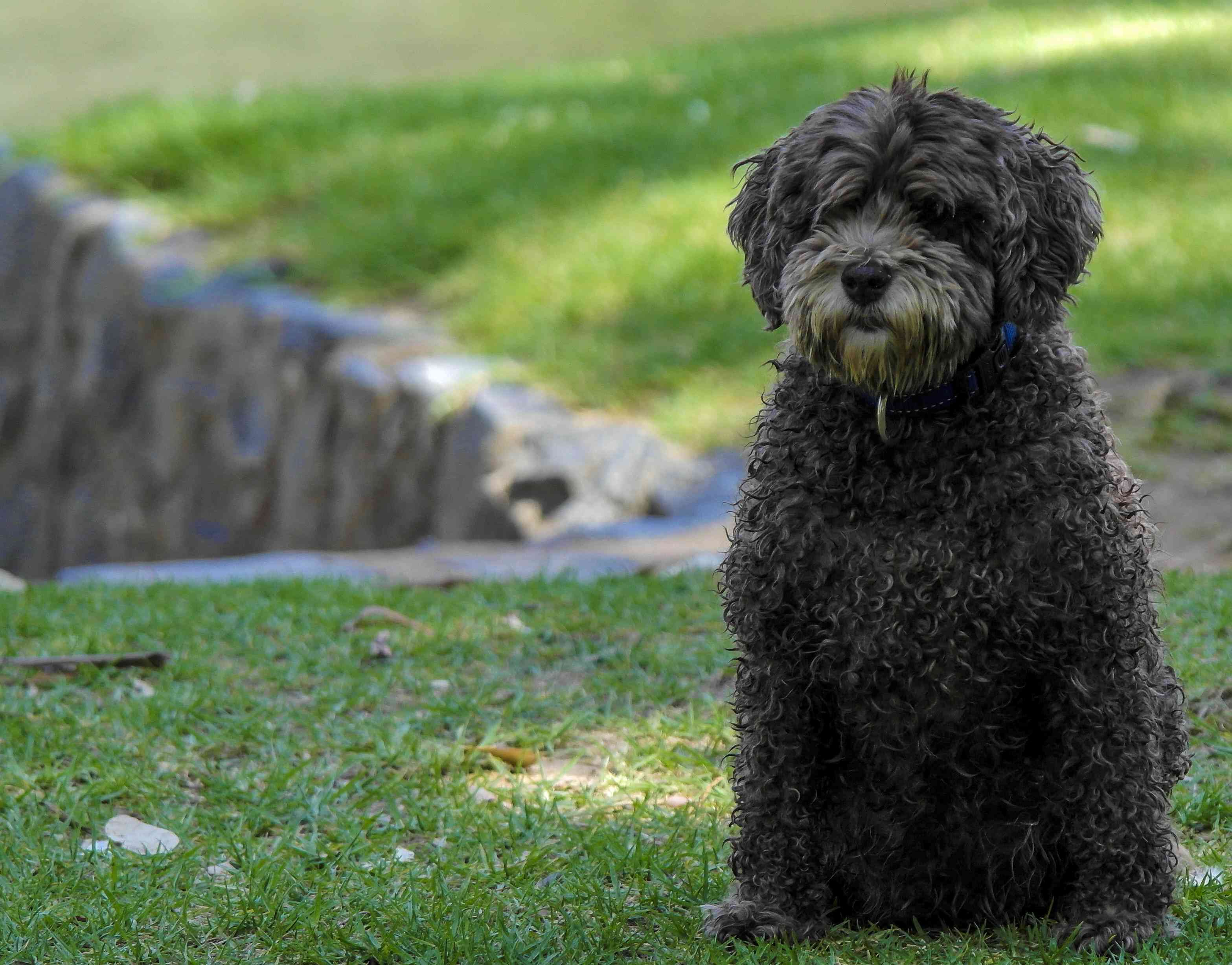 black Spanish water dog standing on grass near a rocky wall