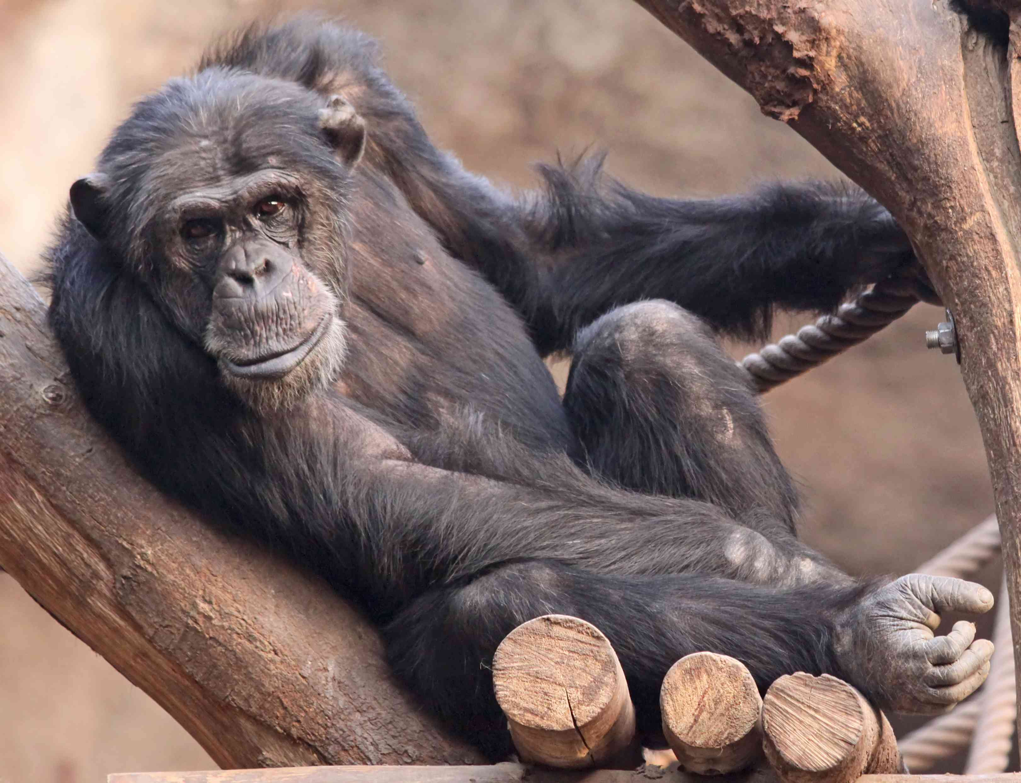 chimp at the Leipzig Zoo