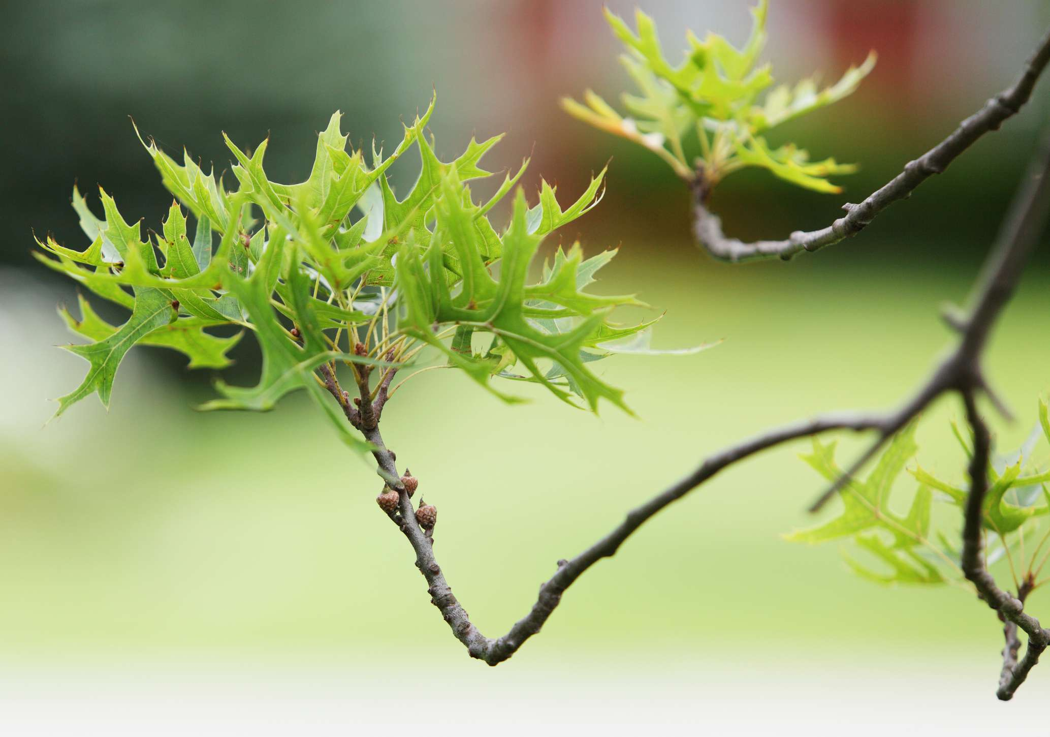 Leaves sprouting on a distressed Pin Oak tree.