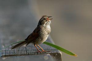 Singing Swamp sparrow