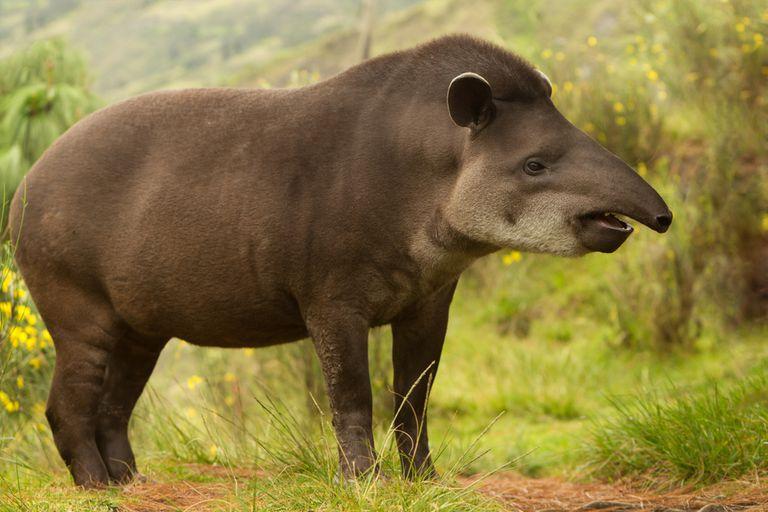 8 hechos sorprendentes sobre los tapires