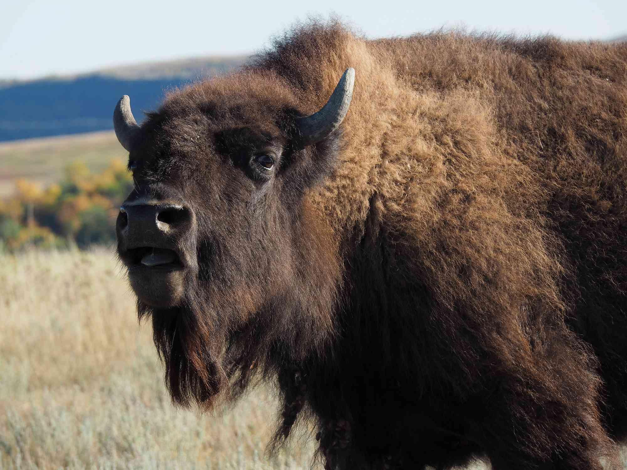 American Bison Close-Up Portrait