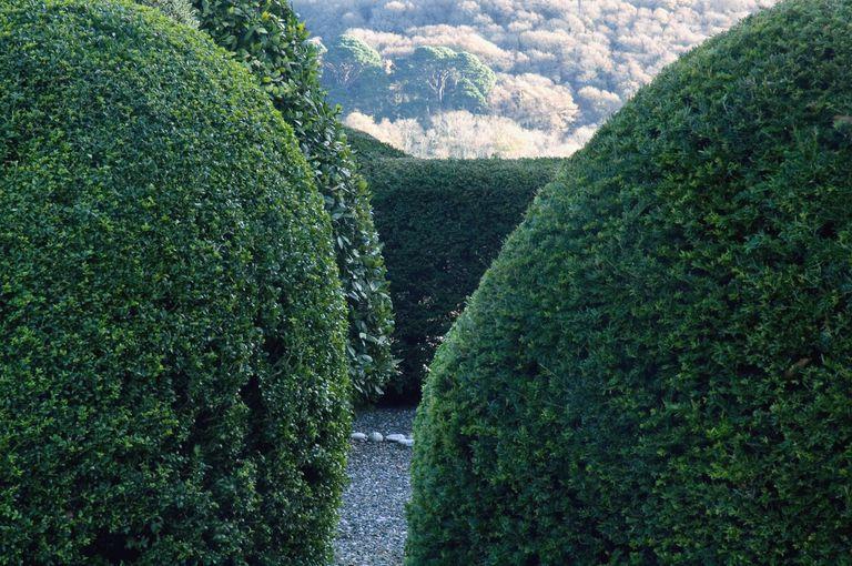 Yew (taxus) and boxwood (buxus) shrubs