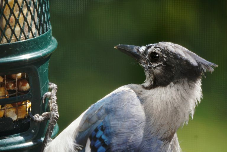 Close-Up Of Blue Jay Perching On Bird Feeder
